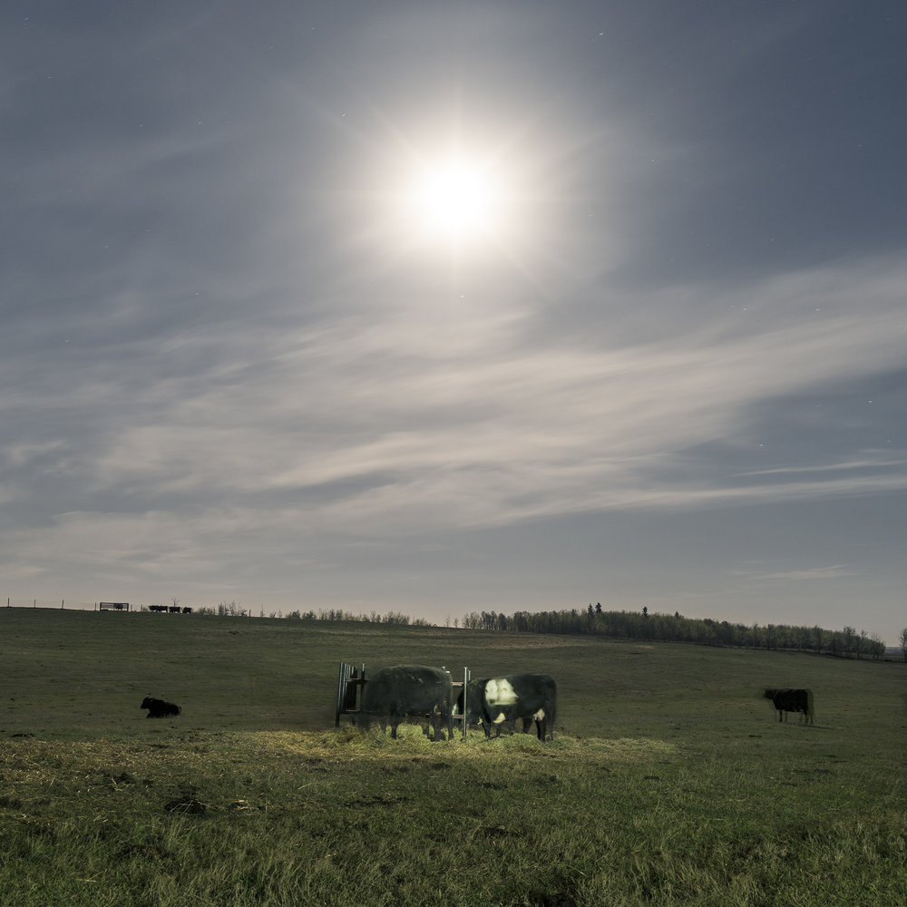Moonlit Cows at the Feeding Station (2016)