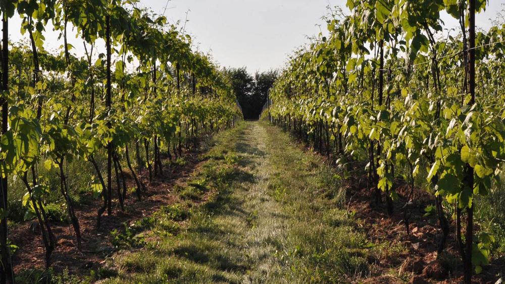 Ceppaiano Bianco Toscana IGT