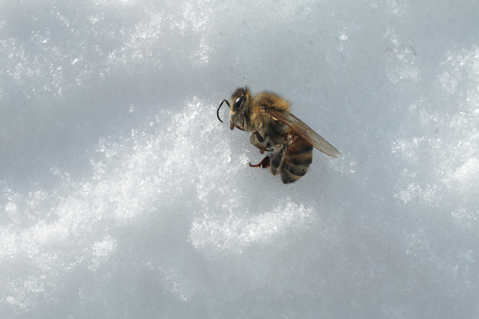 bee snow