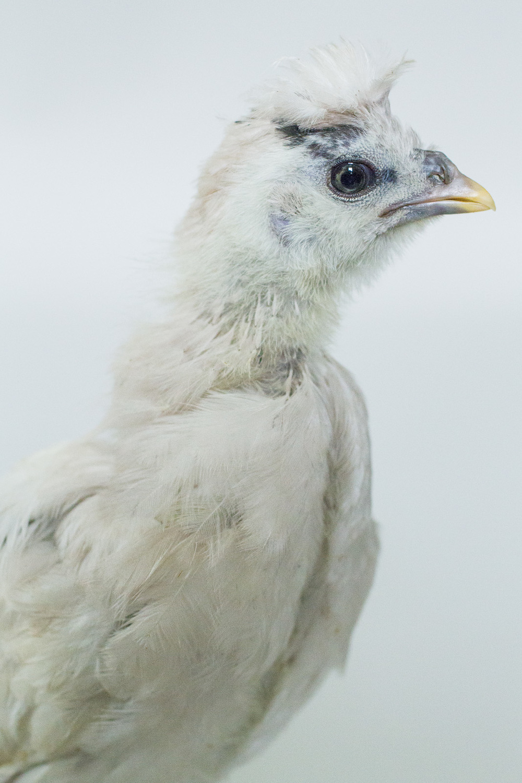 chick 6