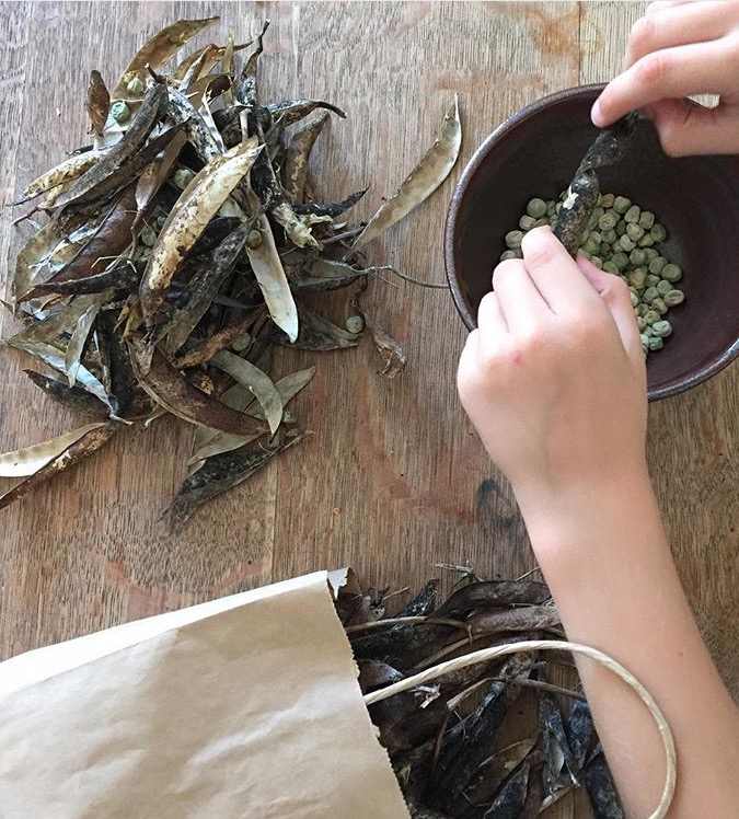 shelling dried peas