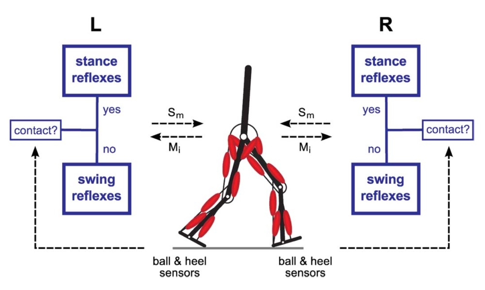 H Geyer, HM Herr.  A muscle-reflex model that encodes principles of legged mechanics produces human walking dynamics and muscle activities.  IEEE Trans Neural Syst Rehabil Eng 18(3): 263-273, 2010.