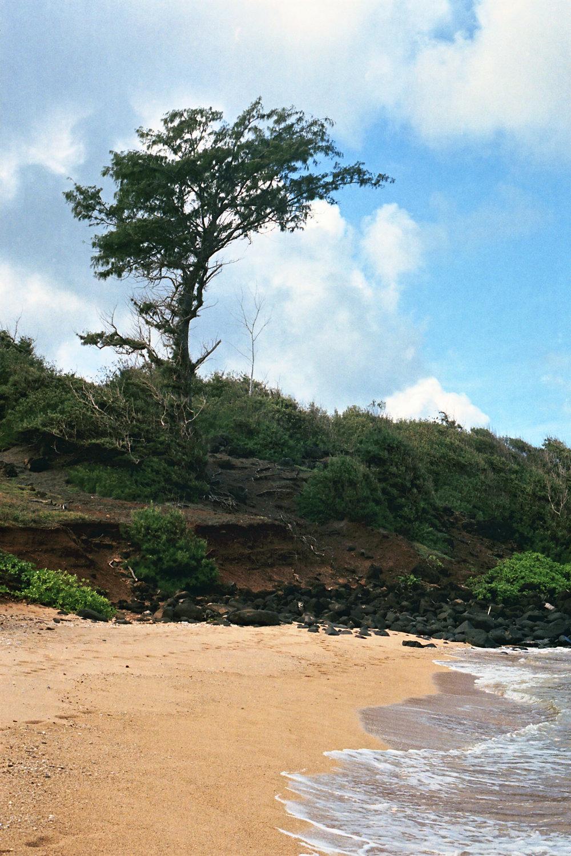 Tree at Larsen's Beach
