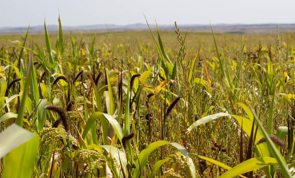 Cover crop winnett sigs.jpg