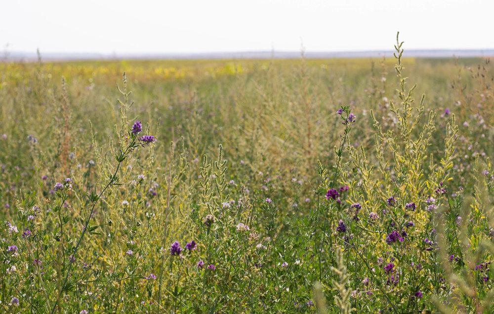 Legume or alfalfa, or both?.jpg