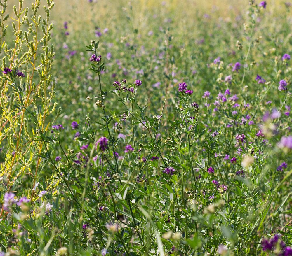 legume v alfalfa 2.jpg