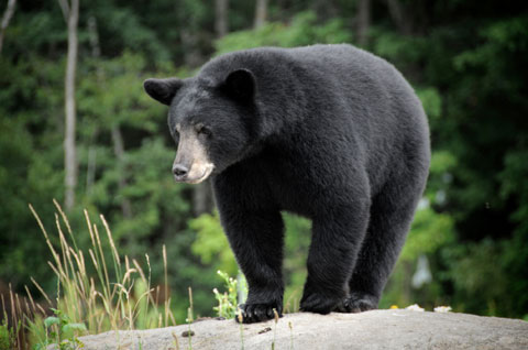 This is like my bear. Only it was more just the bum that I saw, as it fled.  Photo: Canadian Wildlife Federation