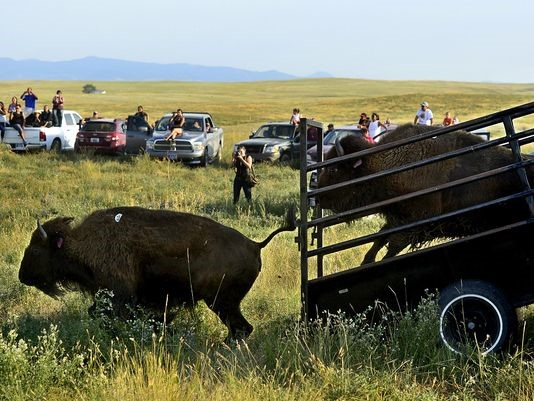 bison release after quarantine.jpg