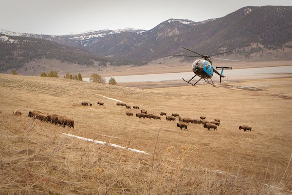 Bison hazing.jpg