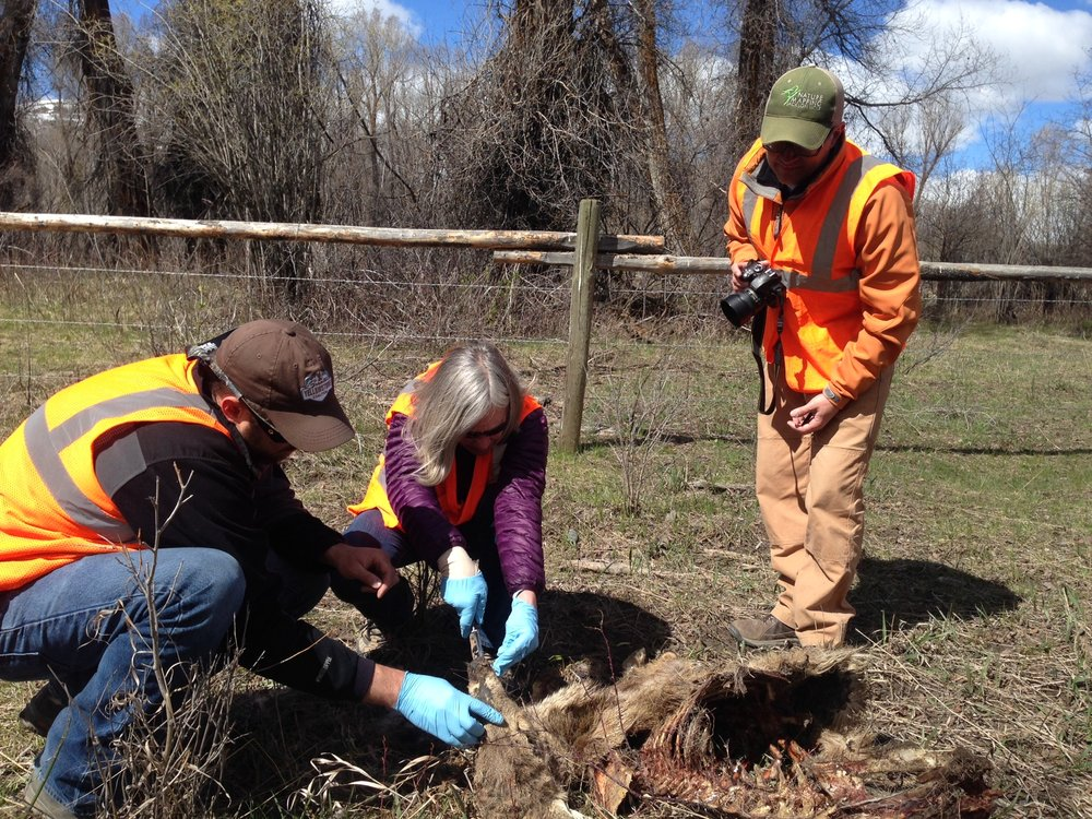 GYC's Chris Colligan (left) and volunteers examine a dead deer during last weekend's carcass count. This job might not be pleasant, but it's critical support for our work to build underpasses for animals crossing a busy Wyoming highway south of Jackson. (Photo GYC.)