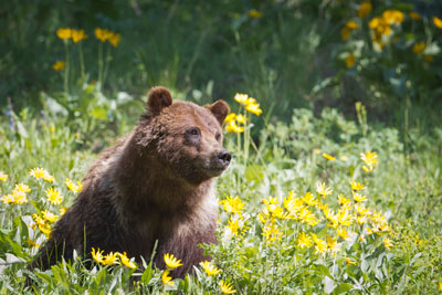 Grizzly sow and cubs. Speak out today and ask Teton County to protect bears! (Photo Cindy Goeddel.)
