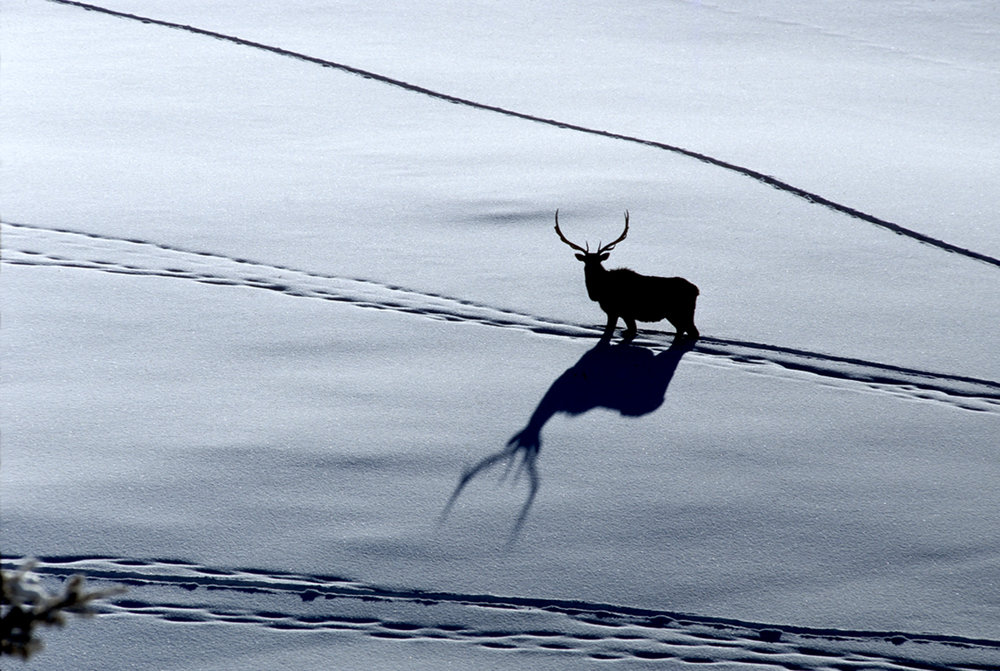 Bull elk on the move. (Photo Tom Murphy.)