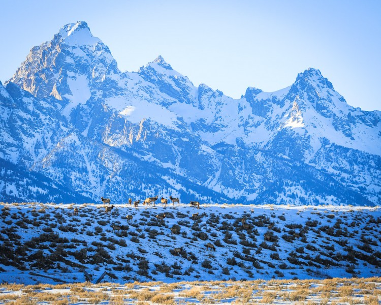 Elk are now migrating across the Jackson Hole valley, heading north out of the National Elk Refuge into Grand Teton National Park. ( Photo courtesy Josh Metten.)