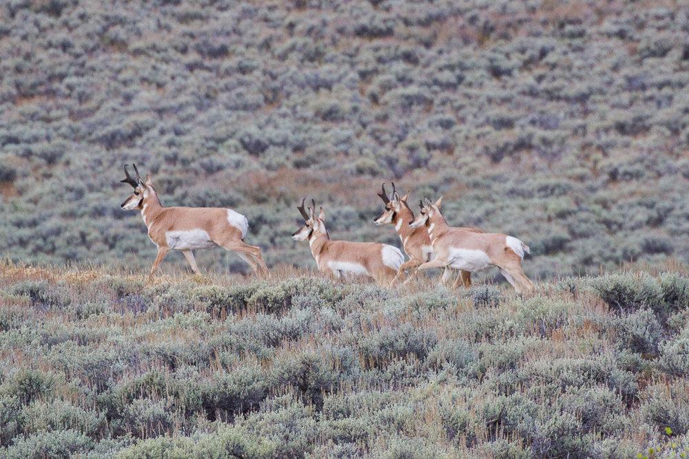 A bachelor herd of pronghorn antelope in the Gros Ventre mountains near Grand Teton National Park. ( Photo courtesy Josh Metten.)