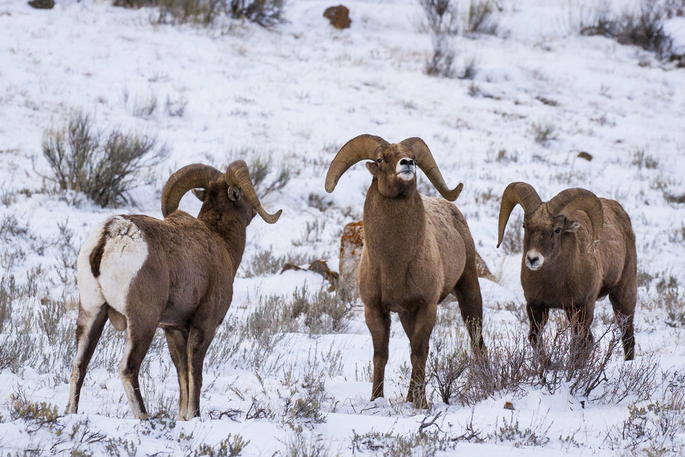 A group of bighorn rams gather on the National Elk Refuge outside of Jackson Hole, Wyoming. (Photo courtesy of Josh Metten.)