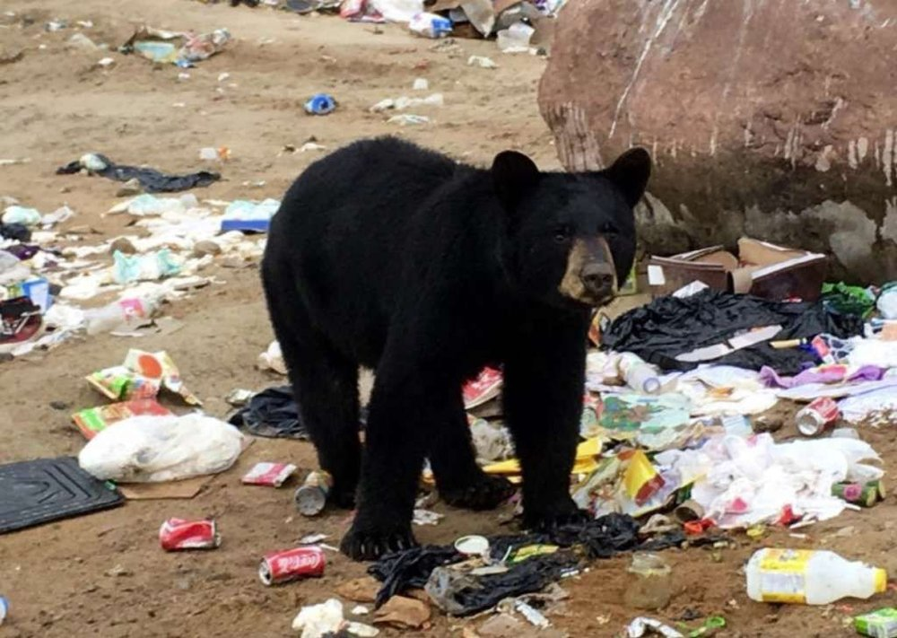 A black bear digs through garbage - not good! (Photo courtesy Mandy Stantic.)