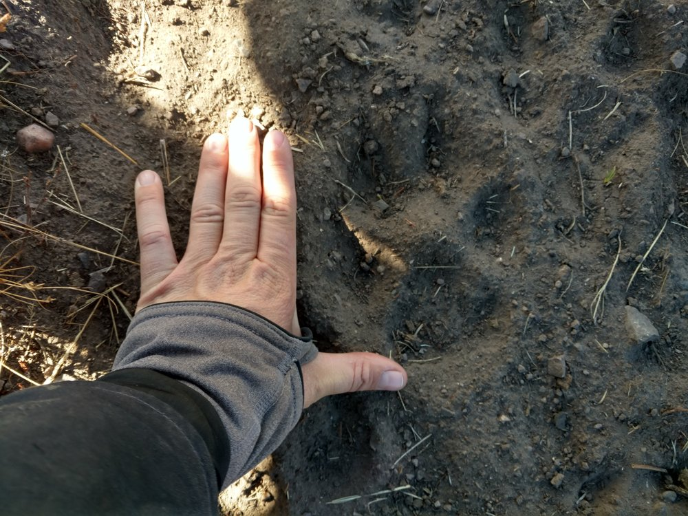 One of the wolf tracks found while riding through the pasture. (Photo Sarah Hale, Centennial Valley Association.)