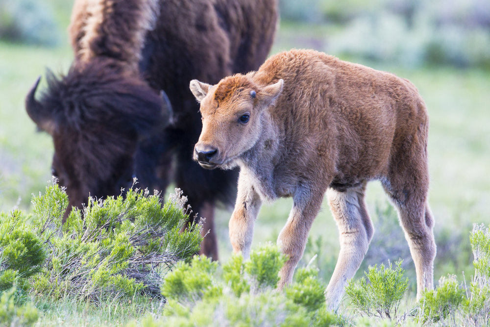 A bison calf, also known as a red dog, in Yellowstone National Park. (Photo Cindy Goeddel.)