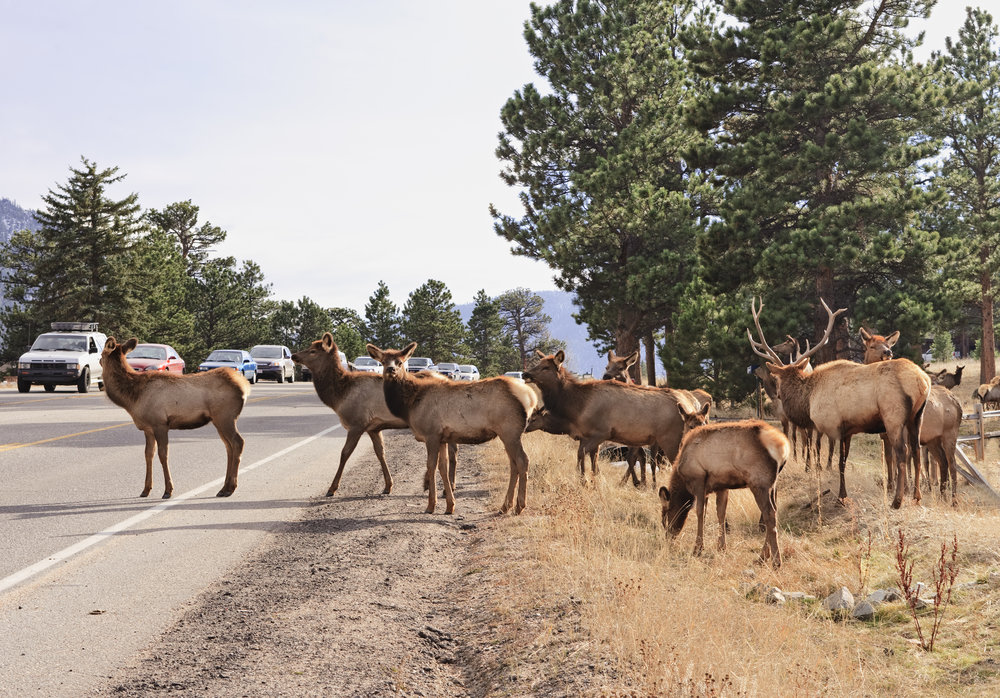 Why did the elk cross the highway? To migrate to crucial wintering and calving grounds on the other side! A herd of elk struggle to cross a highway.