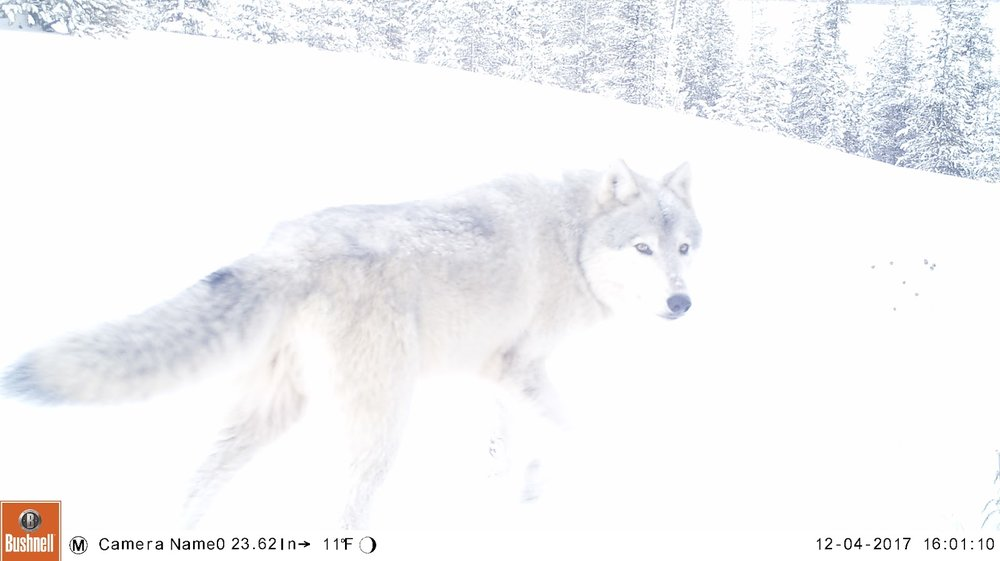 A Bechler pack wolf gets caught on one of the trail cameras. (Photo Kira Cassidy/NPS.)