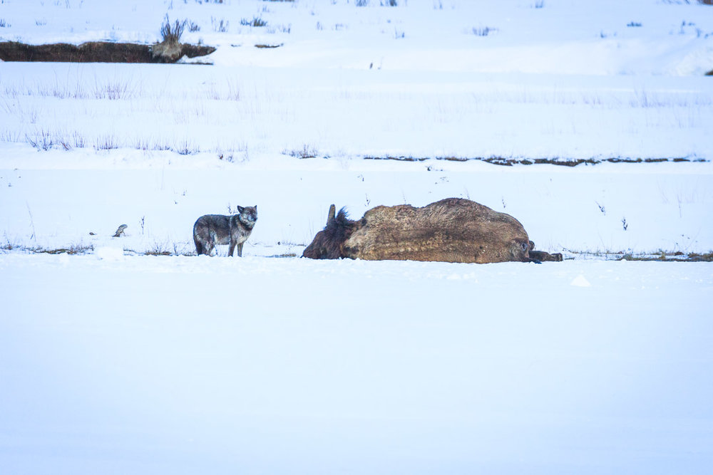 Wolf 926F of the Lamar pack scavenging a bison carcass in spring 2018. Before being killed by a trophy hunter just outside the park boundary in late November 2018, 926F was one of the oldest wolves in the park at 7.5 years. Wolf hunting is legal outside of park boundaries. (Photo Josh Metten.)