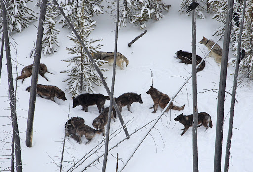 Like humans and other highly social species, wolves benefit from close pack bonds and the strength of experienced members in the pack. (Photo Kira Cassidy/NPS.)