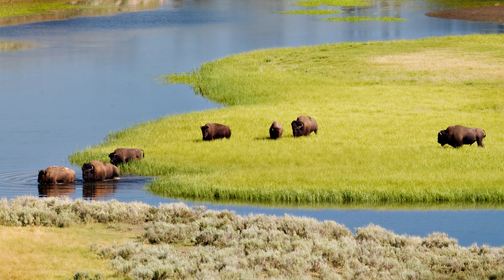 Bison herd in Yellowstone National Park. (Photo Cindy Goeddel.)