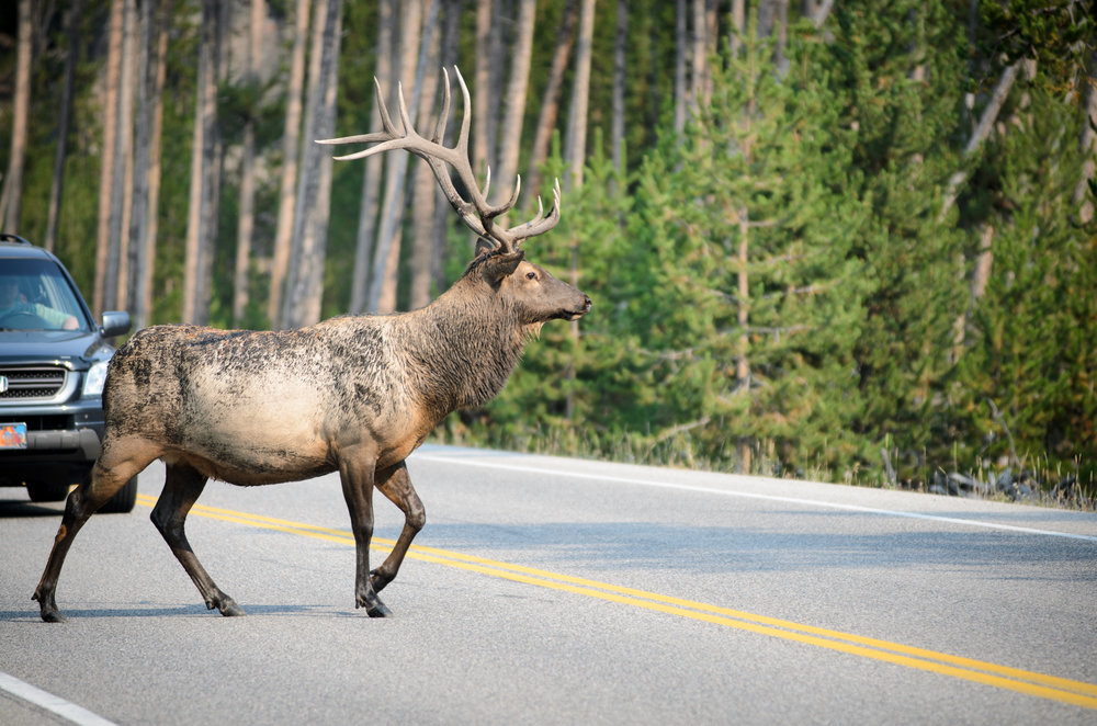 A bull elk makes his way across traffic in the Greater Yellowstone Ecosystem.