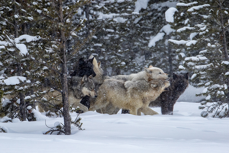 A wolf pack bonds in Yellowstone National Park. (Photo Cindy Goeddel.)
