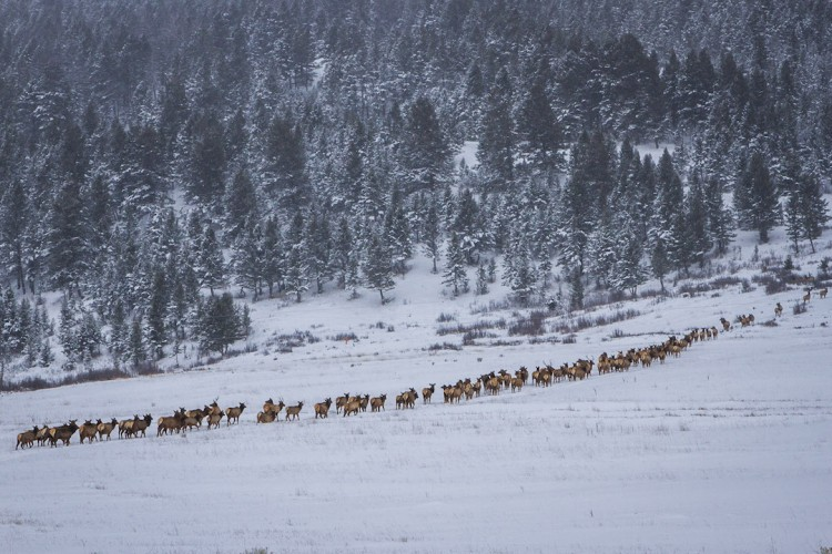 Elk travel single file through snow on their way to trees during a snowstorm on the National Elk Refuge in Jackson Hole. (Photo Josh Metten/Jackson Hole EcoTour Adventures.)