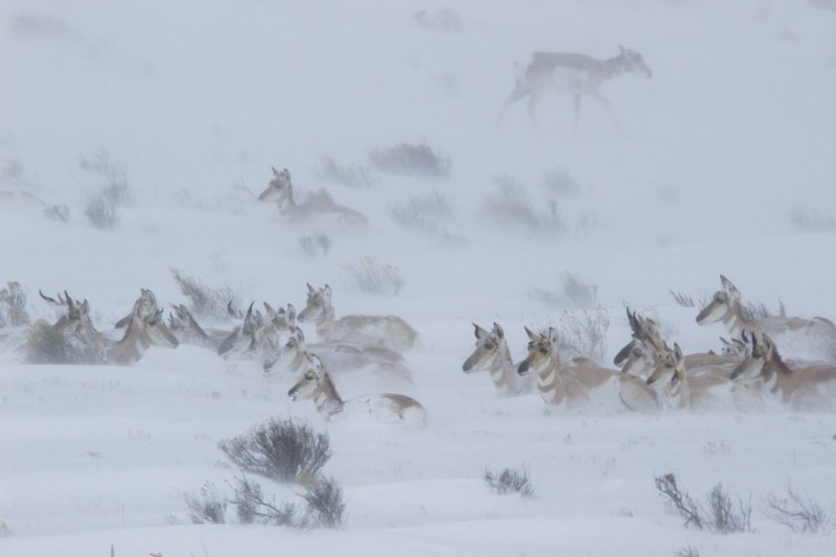 Though most migrate out of the Jackson Hole Valley in winter, a small herd of pronghorn winters on the National Elk Refuge each year. (Photo Josh Metten/Jackson Hole EcoTour Adventures.)