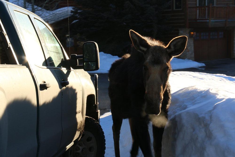 Moose living in close proximity to humans along the Snake River corridor. (Photo Mark Gocke, WGFD.)