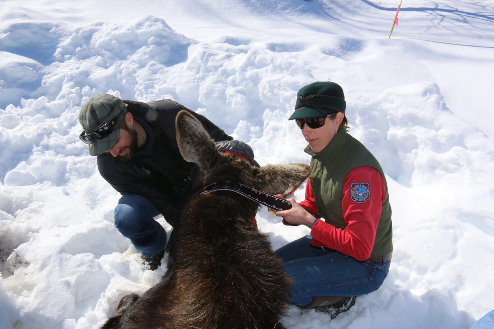 GYC Wildlife Program Coordinator Chris Colligan and WGFD biologist fit a GPS collar on a tranquilized cow moose. This effort is part of a study to track the movements of moose in the area near the intersection of Wyoming Highway 22 and Highway 390. (Photo Mark Gocke, WGFD.)