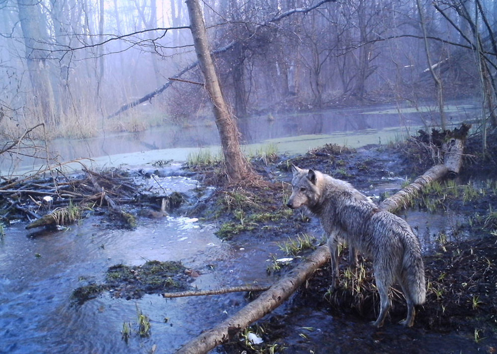 chernobyl-wildlife-camera-traps2.jpg