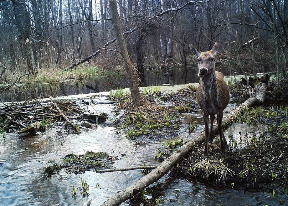 chernobyl-wildlife-camera-traps4.jpg