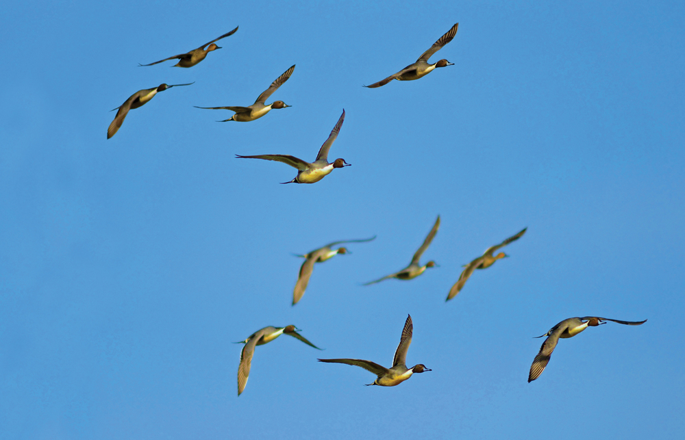 Pintails in Flight - 8 copy-EDIT.jpg