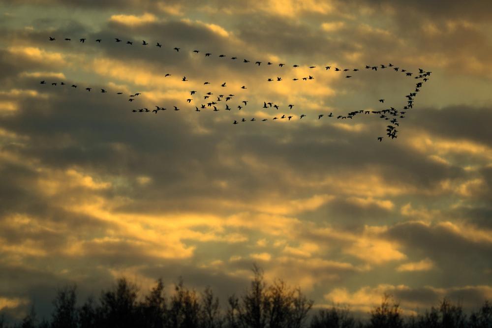 Snow Geese - 11-EDIT.jpg