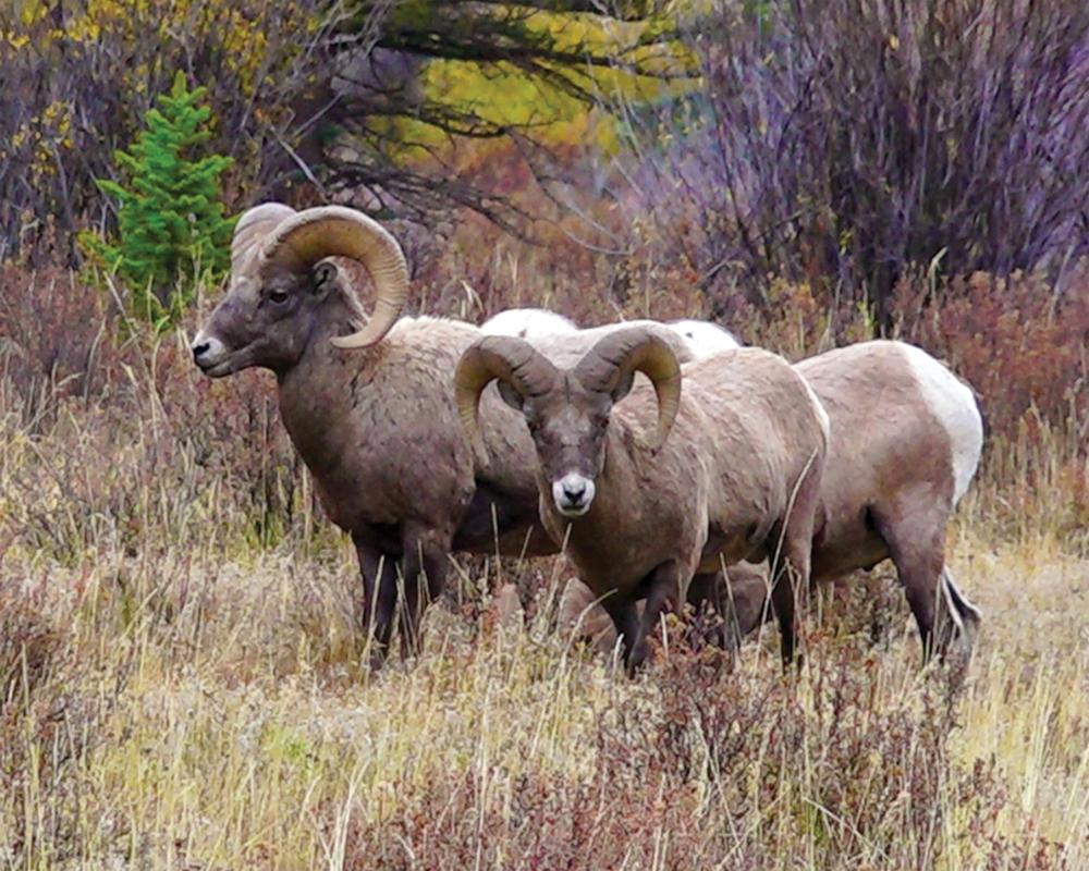 Bristol-Mountain-sheep-EDIT.jpg