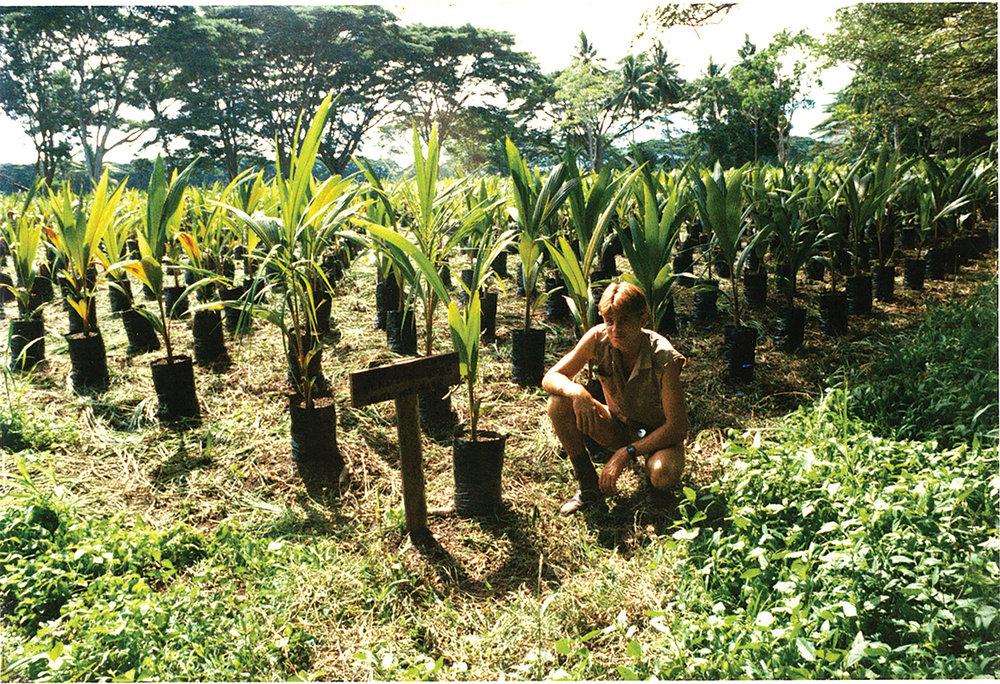 Hybrid Coconut Nursery