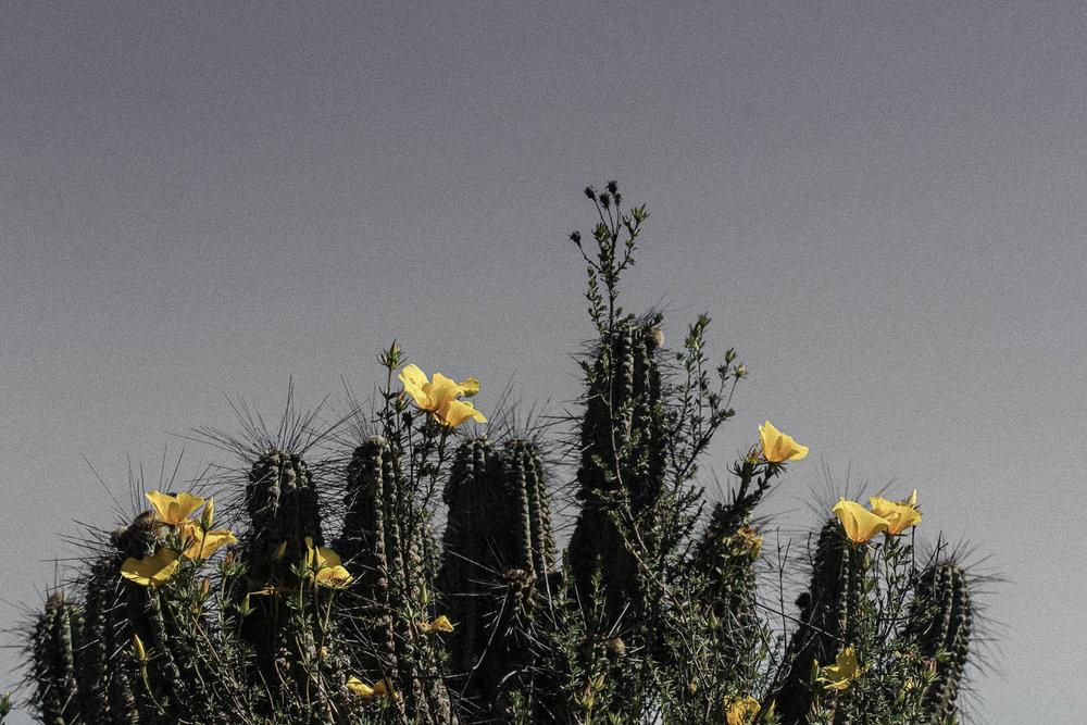 (6) Cactus Trichocereus coquimbanus © Bernardita, García C. para  LOFscapes.