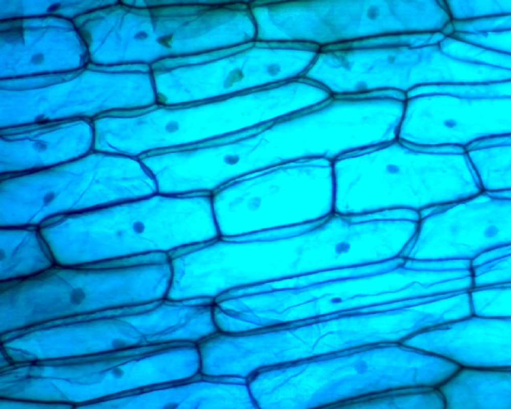 onion skin under the microscope {Inworks photo}