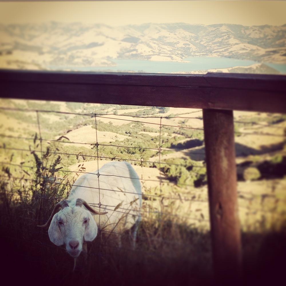 The Hilltop's resident Goat