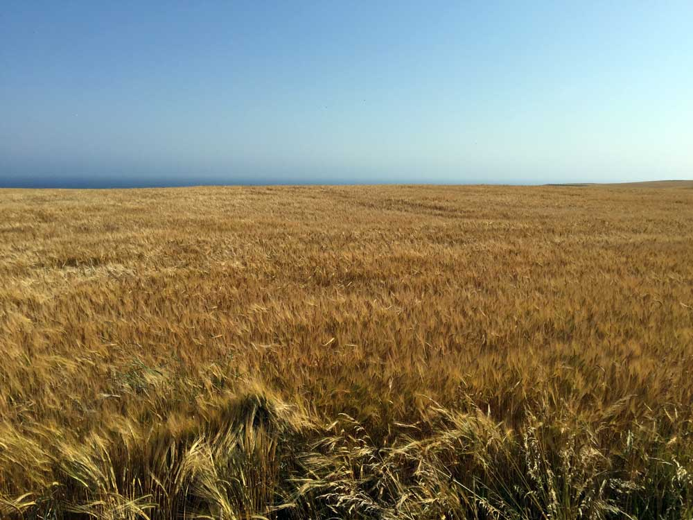 Scottish wheat field nearly ready for harvest. // Stonehaven, UK