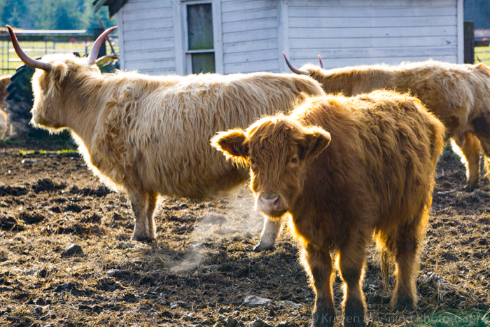 A little back roads farm life!  I love cows, especially fluffy ones!!  These are Scottish Highland cows.