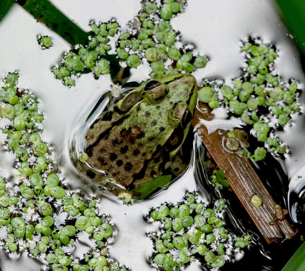 NORTHERN GREEN FROG ( Lithobates clamitans melanota ), NYBG, July 2018