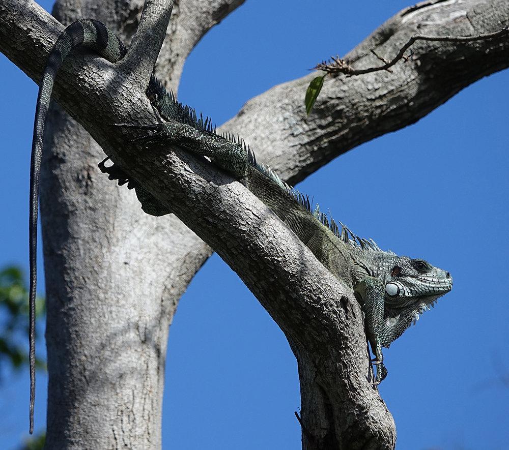 GREEN IGUANA,  (Iguana iguana) , Basse-Terre, Guadeloupe, December 16th, 2017