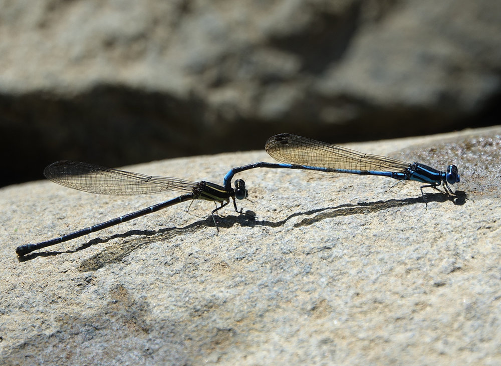 Argia concinna , (common name not known), Basse-Terre, Guadeloupe, December 2017