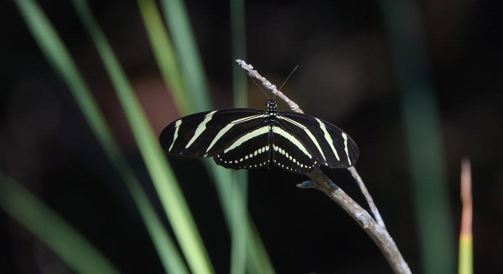 ZEBRA LONGWING, ( Heliconius charithonia),  Sanibel Island, Florida, December, 2018