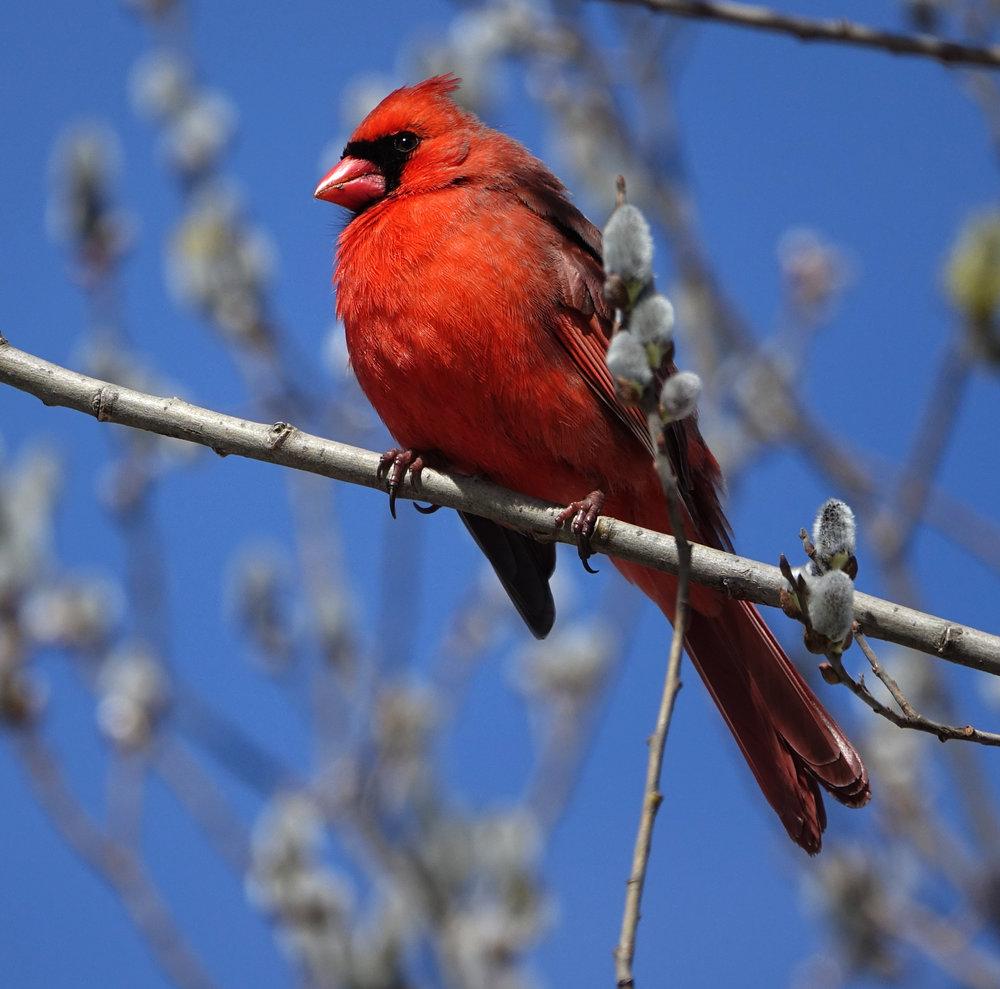 NORTHERN CARDINAL, ( Cardinalis cardinalis ), NYBG, NYC, March, 2018