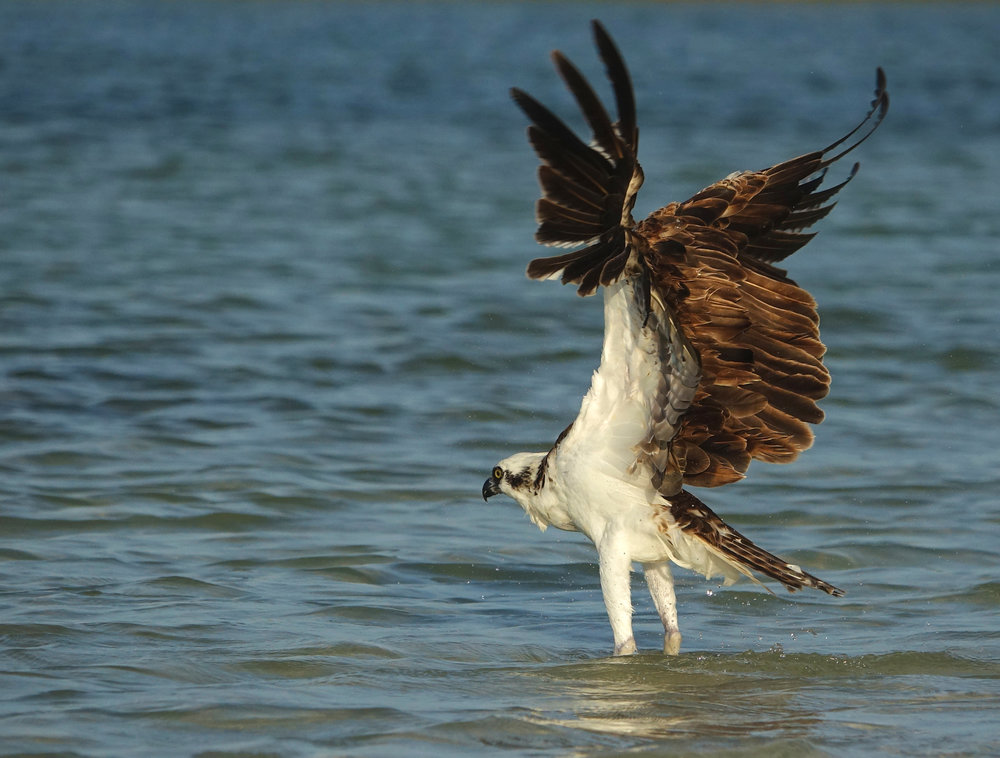 OSPREY ( Pandion haliaetus ), Isla Holbox, Mexico, April 2018